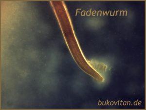 Würmer Mikroskopie