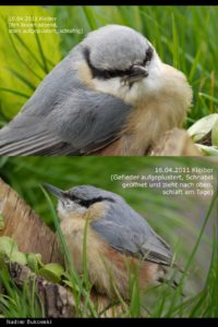 Kranker Vogel mit Trichomonaden