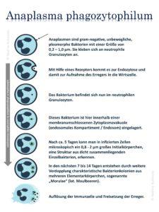 Anaplasma Lebenszyklus