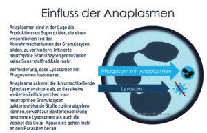 Anaplasma verhinder Superoxide