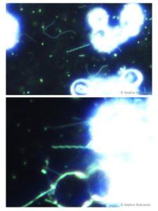 Spirochäta Spirochaeta
